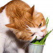 Cat eat grass — Stock Photo
