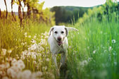 White dog get out in tall grass — Stockfoto