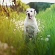 Stock Photo: White dog in tall grass with dandelions