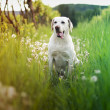 White dog in tall grass with dandelions — Stock Photo