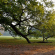 Stock Photo: Old oak tree limb resting on ground in park