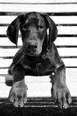 Doberman puppy on a white bench — Stock Photo
