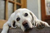 Sad-eyed white dog lying — Stock Photo