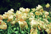 White tulips in the wind — Stock Photo
