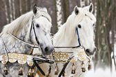 Portrait of two horses in a beautiful harness — Stock Photo