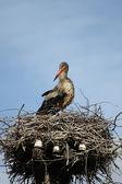 Storch im nest — Stockfoto