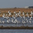 Stockfoto: Avocet