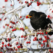 Photo: Blackbird