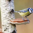 Stock Photo: Blue tit