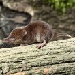 Foto Stock: Common shrew, Sorex araneus