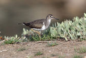 Common sandpiper,Tringa hypoleucos — Stock Photo