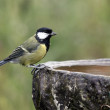 Stock Photo: Great tit, Parus major,