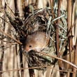 Harvest mouse, Micromys minutus — Stock Photo #30781795