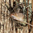 Harvest mouse, Micromys minutus — Stock Photo