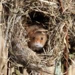 Harvest mouse, Micromys minutus — Stock Photo #30781807