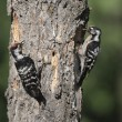 Stock Photo: Lesser-spotted woodpecker, Dendrocopos minor,