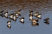 Northern lapwing, Vanellus vanellus, — Stock Photo