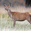 Red deer, Cervus elaphus — Stock Photo #31033149