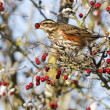 Redwing, Turdus iliacus — Stock Photo