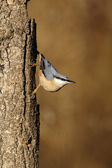 Nuthatch, Sitta europaea, — Stock Photo