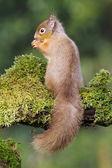 Red squirrel, Sciurus vulgaris, — Stock Photo
