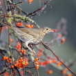 Song thrush, Turdus philomelos — Stock Photo