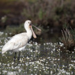 Spoonbill, Platalea leucorodia — Stock Photo
