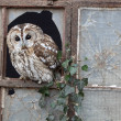 Tawny owl, Strix aluco — Stock Photo