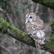 Tawny owl, Strix aluco — Stock Photo #31055309