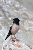 Różowe starling, sturnus roseus, jeden mężczyzna — Zdjęcie stockowe