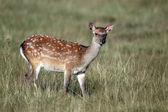 Sika deer, Cervus nippon — Stock Photo