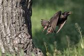 Starling, sturnus vulgaris — Stockfoto
