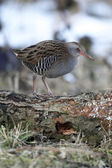 Water rail, Rallus aquaticus — Stock Photo