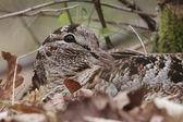 Woodcock, Scolopax rusticola — Stock Photo
