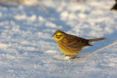 Yellowhammer, Emberiza citrinella — Stock Photo