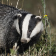 Badger, Meles meles — Stock Photo