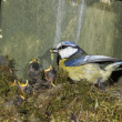 Stock Photo: Blue tit, Parus caeruleus