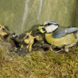 Blue tit, Parus caeruleus — Stock Photo #31107837