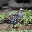 Stock Photo: Buff-banded rail, Gallirallus philippensis