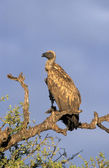 African White-backed vulture, Gyps africanus — Stock Photo