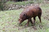 Babirusa, Babyrousa celebensis — Stock Photo