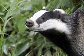 Badger, Meles meles — Stock Photo