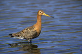 Black-tailed godwit, Limosa limosa — Stock Photo