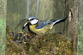 Blue tit, Parus caeruleus — Stock Photo