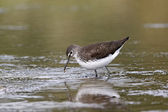 Green sandpiper, Tringa ochropus — Stock Photo