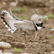 Little-ringed plover, Charadrius dubius — Stock Photo