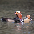 Stock Photo: Mandarin duck, Aix galericulata