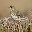 Meadow pipit, Anthus pratensis — Stock Photo #31297769