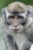 Длиннохвостый макака, macaca fascicularis — Стоковое фото