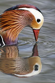 Mandarin duck, Aix galericulata — Photo